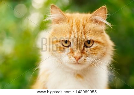 Portrait of beautiful ginger cat in the garden. Red cat. Red-headed cat. Portrait of looking ginger cat. Beautiful red cat with yellow eyes