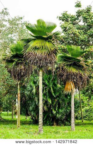 three great Petticoat Palms growing in tropical Cuba
