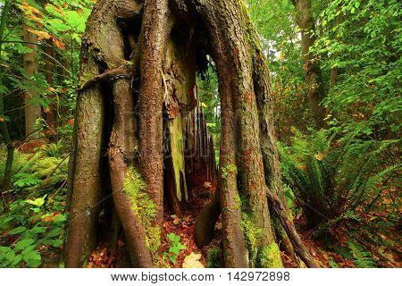 picture of an exterior Pacific Northwest forest second growth conifer
