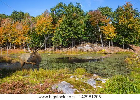 On the hill near the lake is deer antlered. Small overgrown lilies lake in the autumn park