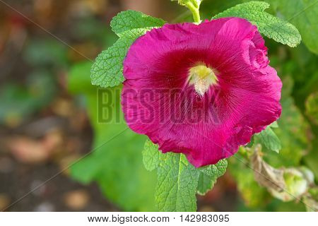 Closeup of Hollyhock flower (Alcea) in pink magenta blossoming during Autumn in South Australia