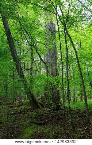 Old oak tree in hornbeam mainly deciduous stand, Bialowieza Forest, Poland, Europe
