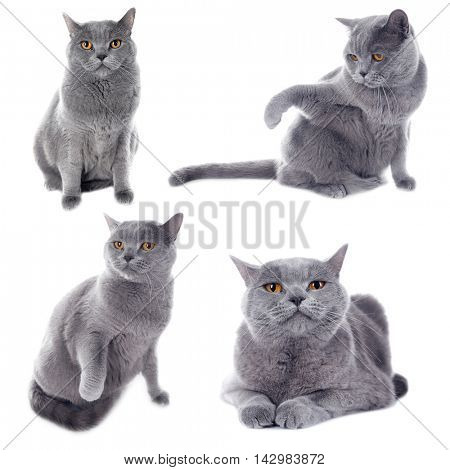 Short-hair grey cat collection isolated on white background