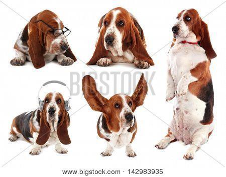 Basset hound dog collection on white background