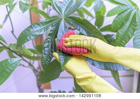 Female hands in gloves wipe dust from houseplants.