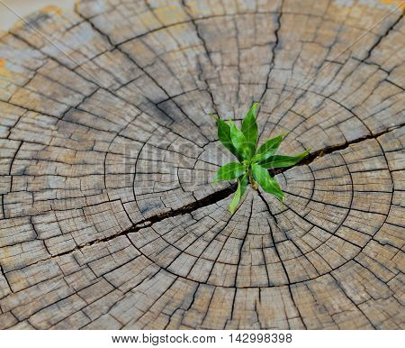 strong seedling growing in the center trunk from a dead tree stumpbusiness concept of emerging leadership success generating new business.