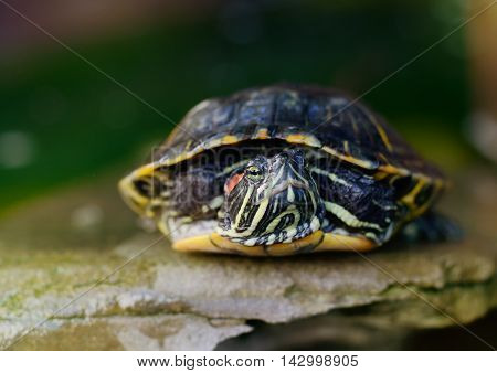 Pond Slider, Red-eared Turtle lying on stone Close-up