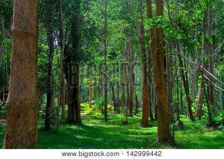 trees in a green forestCompetition of pine trees To sunlight necessary to sustain life.