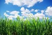 stock photo of manicured lawn  -  green lawn isolated on sky - JPG