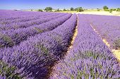 stock photo of lavender field  - Image shows a lavender field in the region of Provence - JPG