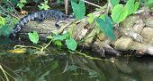 picture of alligator baby  - The baby alligator was laying on a log in the lake - JPG