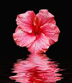 Pink Flower On Black With Reflection