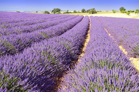 pic of lavender field  - Image shows a lavender field in the region of Provence - JPG