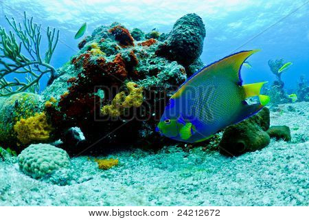 Blue And Yellow Angel Fish