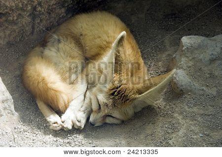 Fennec dormindo