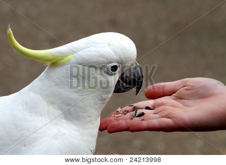 Cockatoo Feeding