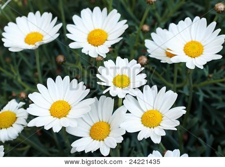 Bunch of marguerites outdoor
