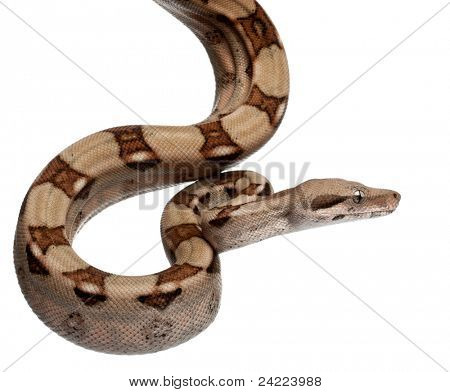 Salmon Boa constrictor, Boa constrictor, 2 months old, in front of white background