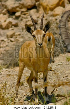 Female Ibex