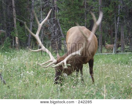 Grazing Elk, Yellowstone Park