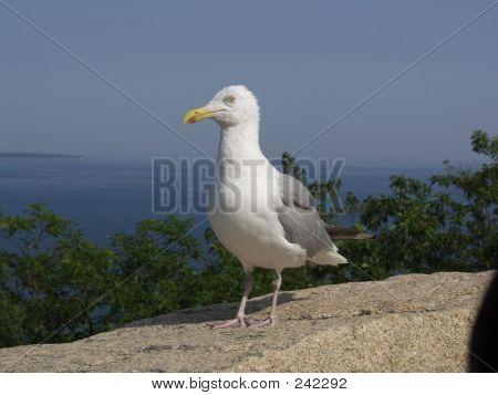 Seagull, Portland, Maine