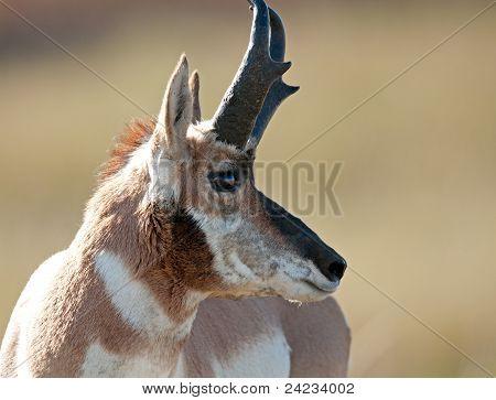 American pronghorn antelope buck