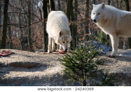 Polar Wolf Eats .