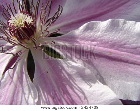 Clematis Shadow