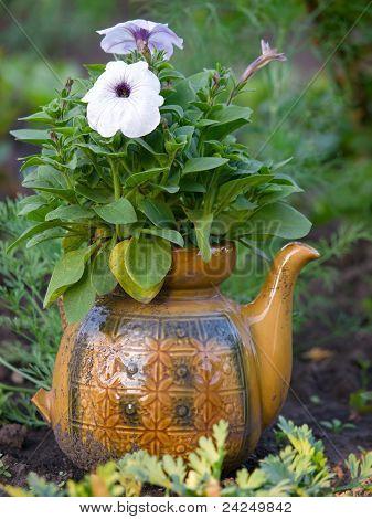 Petunia On Pot