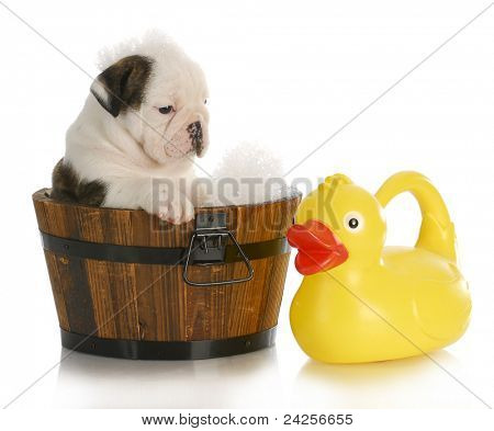 puppy bath time - english bulldog puppy in wooden wash basin with soap suds and rubber duck