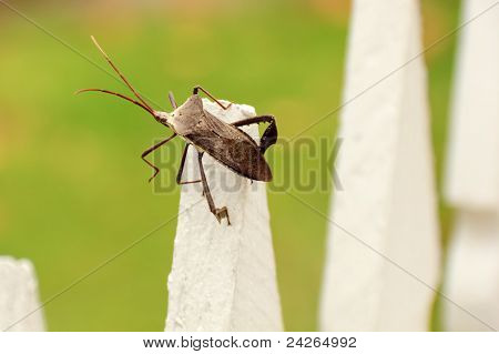 Large Stink Bug on a Fence in Houston, Texas