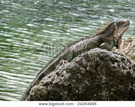 Camouflaged Iguana, Beauty from the Beast