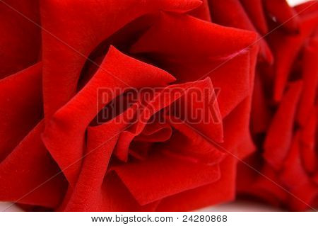 Closeup Red Rose