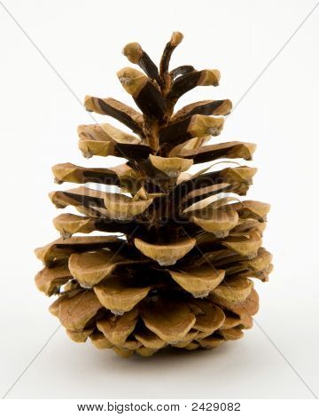 Conifer Pine Cone