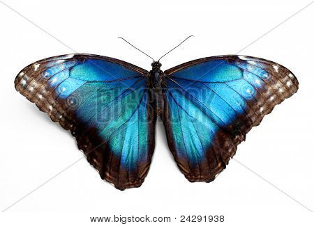 Butterfly morpho Rhetenor cacica isolated over white background