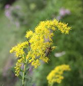 pic of goldenrod  - Two soldier beetles stacked together on goldenrod - JPG