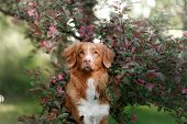 Red-haired Dog Sitting In Pink Flowers. Nova Scotia Duck Tolling Retriever, Toller poster