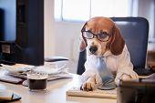 Beagle Dressed As Businessman Works At Desk On Computer poster