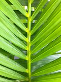 Green Coconut Leaves Or Cocos Nucifera L With Many Leaf. This Is Macro Image Of Coconut Tree Branch  poster