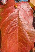 Fall Leaf Texture With Ladybug