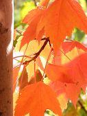 Orange Fall Leaves Basking In Sunlight