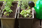 Container Vegetables Gardening. Vegetable Garden On A Terrace. Herbs, Tomatoes Seedling Growing In C poster