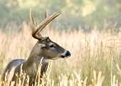 foto of bambi  - Whitetail deer buck standing in a field - JPG