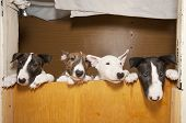stock photo of minion  - four young bull terriers - JPG