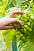 A Child Picks Up A Bunch Of Grapes. Grape Bush. Man Tearing A Bunch Of Grapes poster