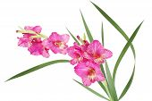 stock photo of gladiola  - Bicolor pink and yellow gladiolus flower isolated on white - JPG