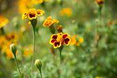 Marigold Blossom On Blurred Natural Background. Marigold Flowers In Summer Garden. Blossoming Flower poster