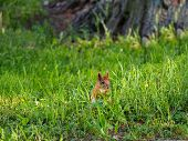 Ginger Squirrel Sits In Green Grass. Rodent Staring At Something. Spring Natural Background. poster