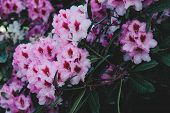 Rhododendron Pink Flowers Background. Rhododendron Flower Pattern. poster