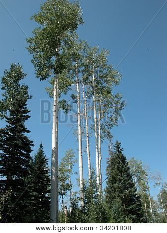 Colorado Aspen Trees